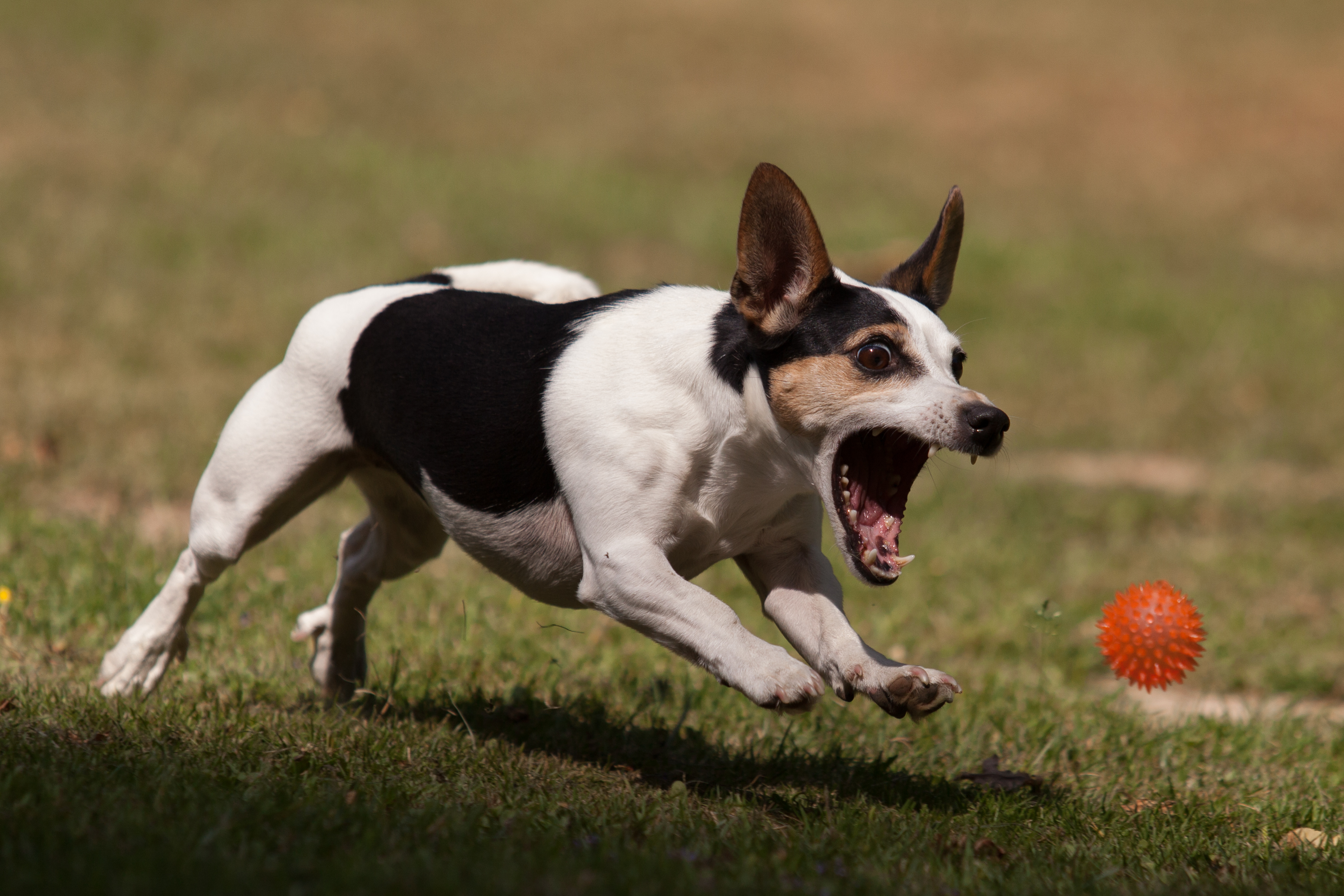 Jack Russell Ball