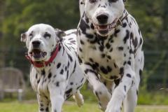Dalmatiner beim Rennen