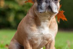 Französische Bulldogge im Herbst